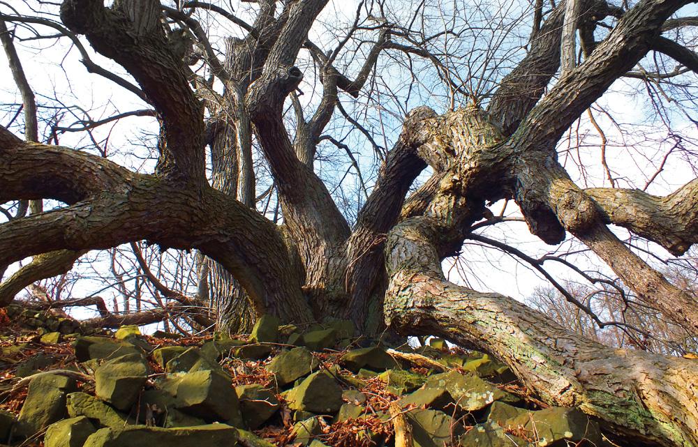 Zázračné České středohoří vLitoměřicích – Památné stromy [2]
